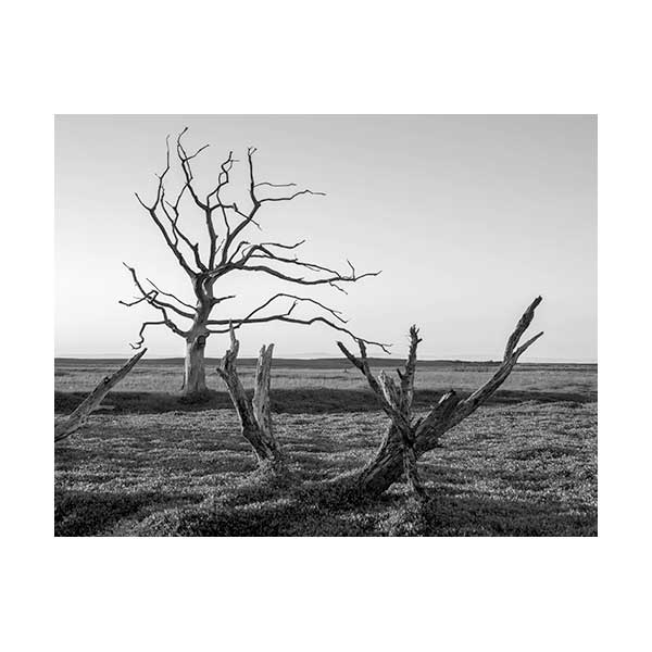 Black and white image of trees in saltmarshes